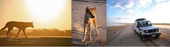 フレーザー島とディンゴ ( 写真提供: ナチュラ・エコツアーズ、ツアー中に撮影)